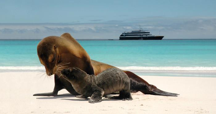 Sea Lion and pup in Galapagos. Islander in background