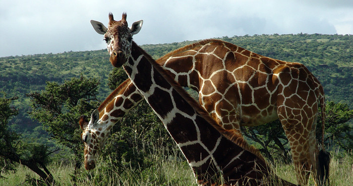 Micato_Safaris.Lewa_Wilderness_-_Reticulated_Giraffe