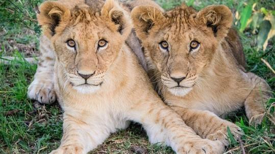 lions cubs on the maasai mara
