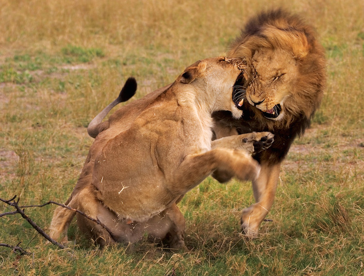 Male lion and lioness fighting on a Botswana safari.
