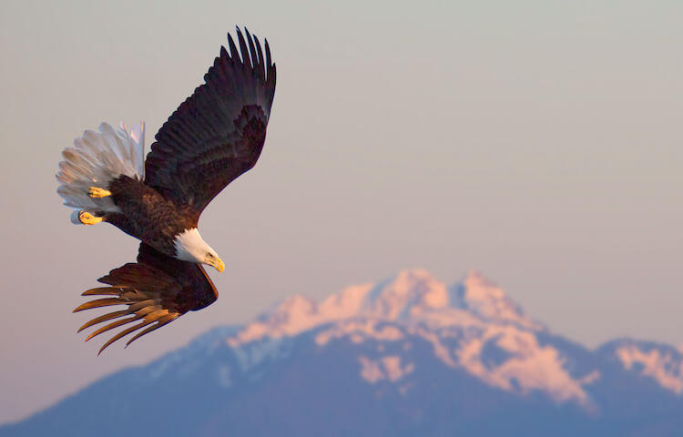 Alaska bald eagle by Rick Sammon.