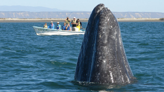 Gray whale spy-hopping on Baja whale watching tour