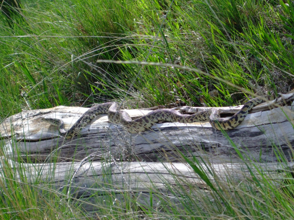 bull snake, Colorado wildlife