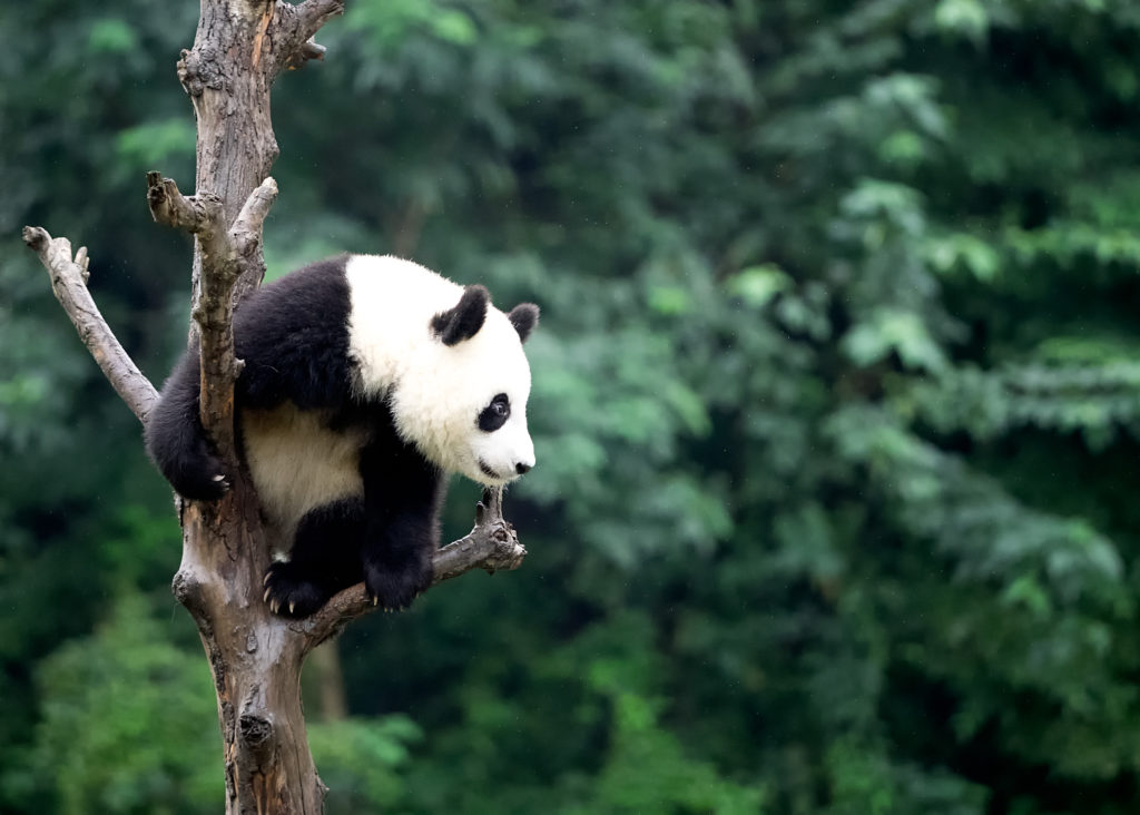 panda sighted in a tree, China