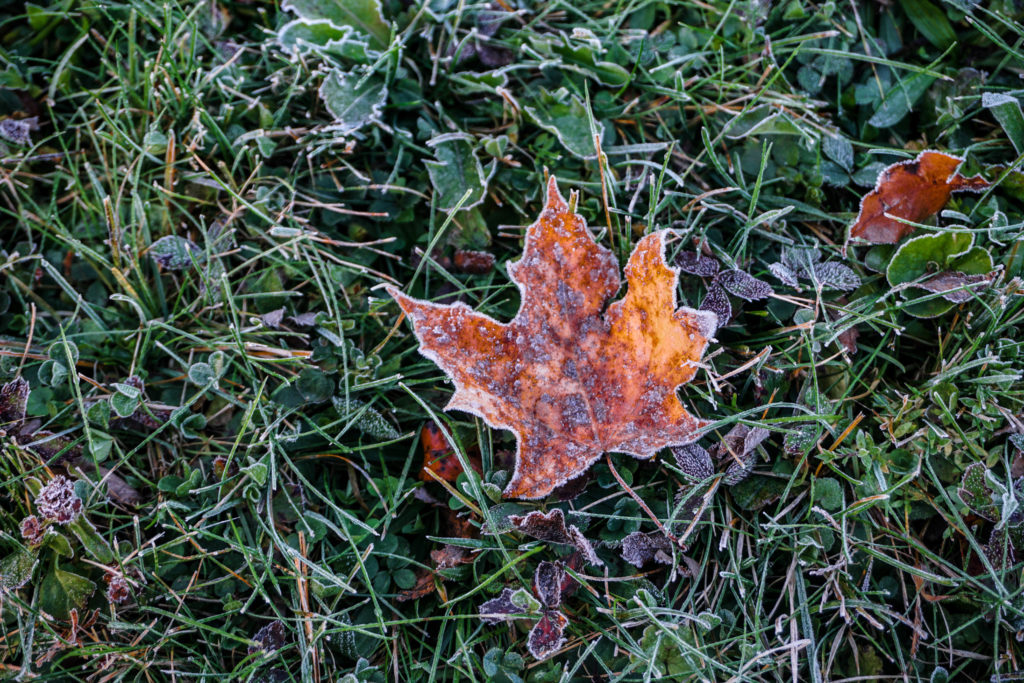 Frost covered maple leaf, Vermont, by Sabine Bergmann