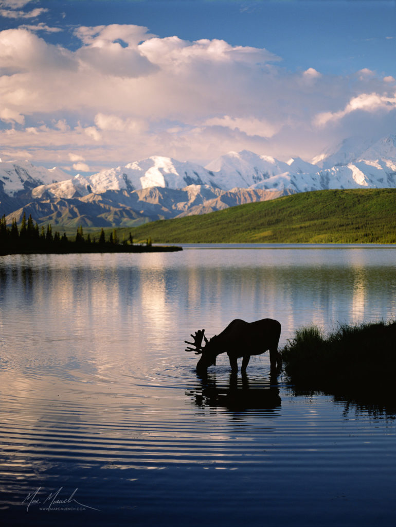 moose in Wonder Lake at Danali National Park, Alaska, by Marc Muench
