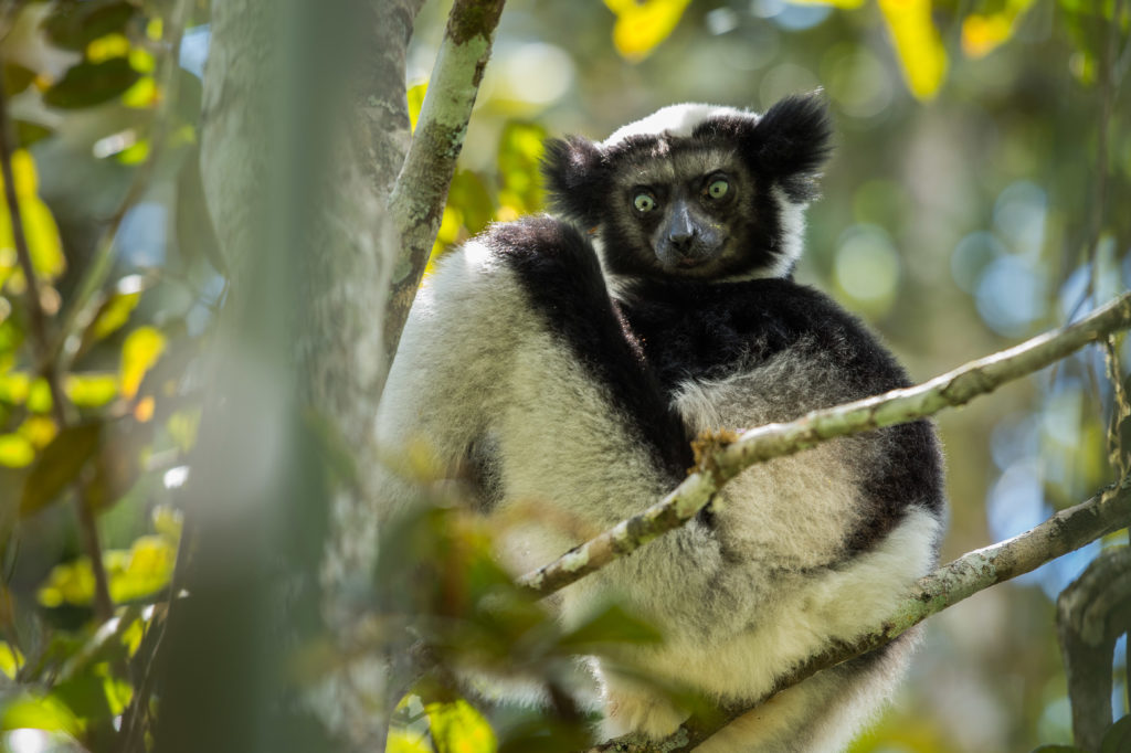indri lemur, Madagascar by Richard de Couveia, Natural Habitat Adventures