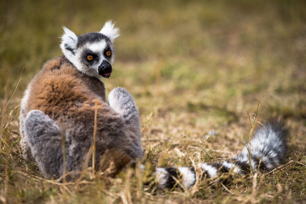 Ring-tailed lemur, Madagascar by Richard de Gouveia, Natural Habitat Adventures